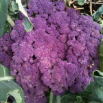 Purple Cauliflower at City Dock Community Garden