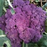 Purple Cauliflower at City Dock Community Garden